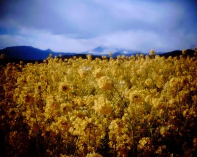 菜の花と富士山:Entry