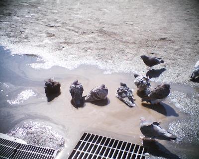 ハトの寒中水泳:R2