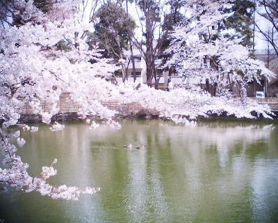 桜の下で鴨泳ぐ:R2