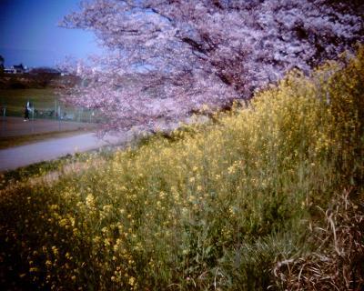菜の花と桜:Entry