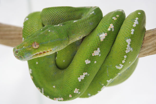 greenpythonaru200805.jpg
