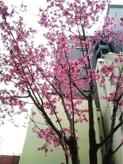 おかめ桜②