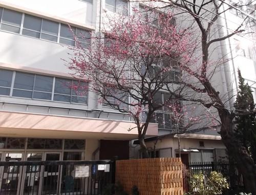 校門の梅って風情があるね。