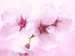 今年は桜の開花が早いですね。