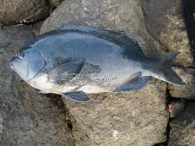 中美漁40オーバー