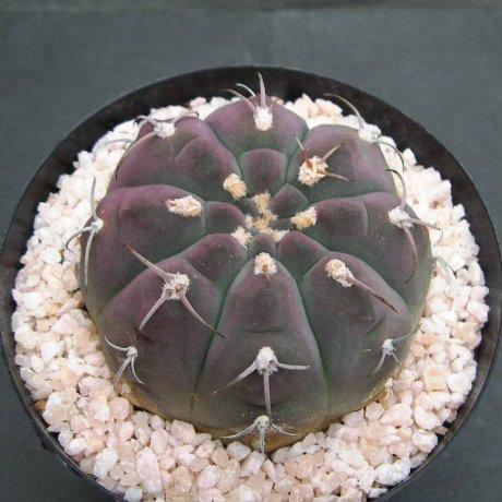 130220--Sany0134--bayrianum--Sierra Ancasti bei El Alto--Amerhauser seed(1998)--Tutiya