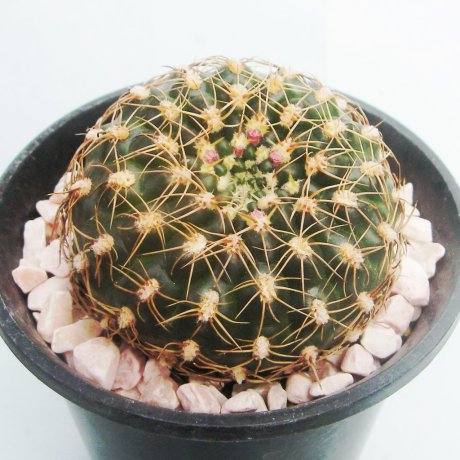 130314--Sany0065--leeanum v netrelianum--piltz seed 1486