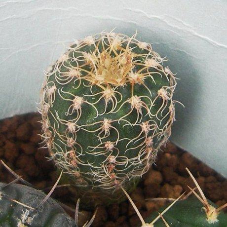 130314--Sany0070--carolinense ssp ludwigii--GN 255-810--Sierra de Poltezuelo San Luis--Eden 18764