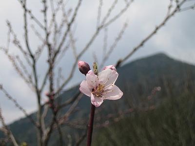 2010春柿島 005