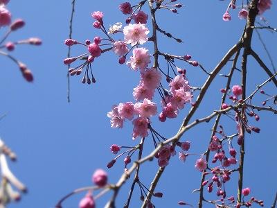 2010春柿島 015