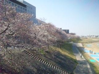 120408 三光荘前 桜①