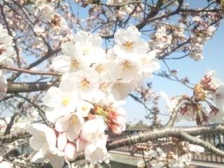 120408 三光荘前 桜②
