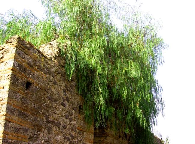 ポンペイ胡椒の木
