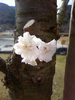 №98 十月桜
