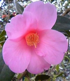椿ピンク一重