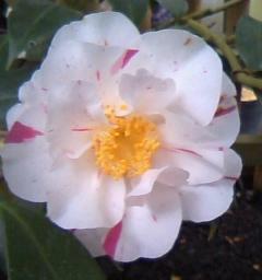 椿白ピンク