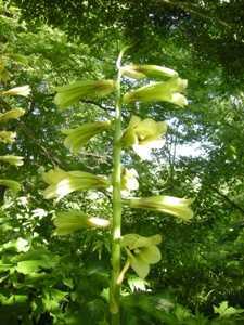 六花の森6オオウバユリ