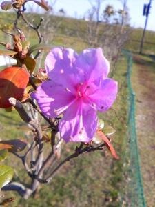 狂い咲き紫