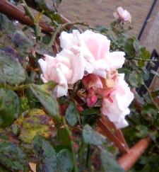 薔薇が寒そう