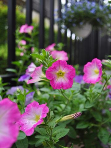6月18日テラスの花々+(4)_convert_20110620221754