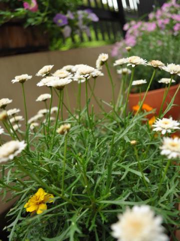 6月18日テラスの花々+(1)_convert_20110620221922