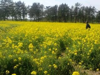 大潟村菜の花