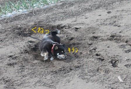 黒柴、畑で暴れる。 (5)
