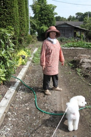 野菜収穫 (2)
