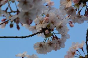 お花見(ダンナ撮影)