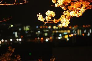 お花見(うりぉん撮影)