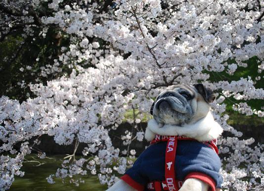 お堀端の桜とチッチくん