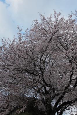 sakurayashiki02.jpg