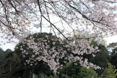 sakurayashiki07.jpg