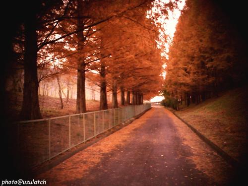 紅葉杉並木road