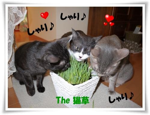 猫草大好き