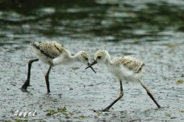 セイタカシギ幼鳥(3937)①