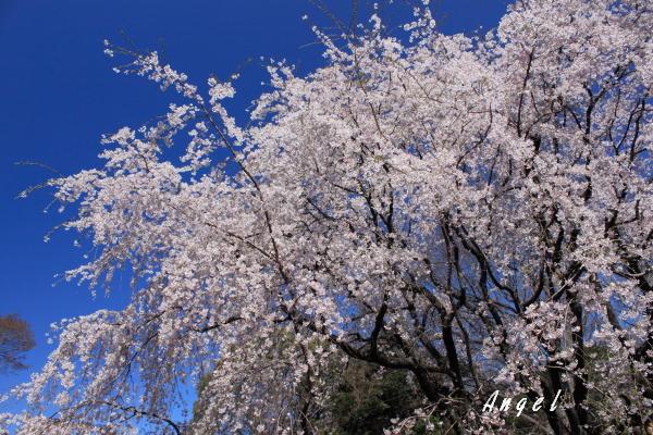 六義園枝垂桜(201204070037)