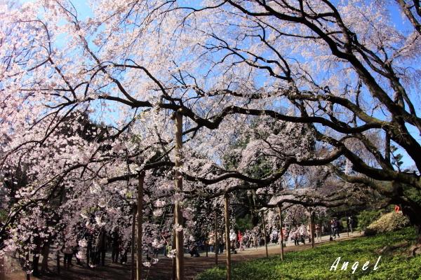 六義園枝垂桜(201204070007)
