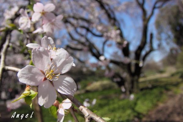 六義園枝垂桜(201204070019)