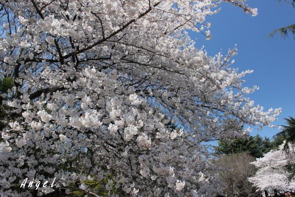 新宿御苑染井吉野(201204070059)