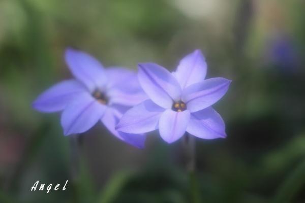 新宿御苑ハナニラ(201204070166)