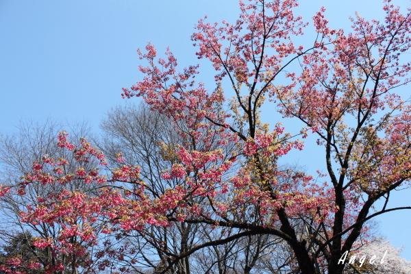 新宿御苑ヒマラヤ緋桜(201204070115)