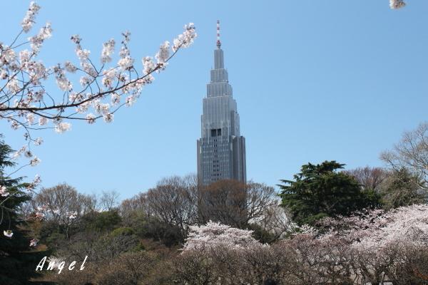 新宿御苑染井吉野(201204070107)