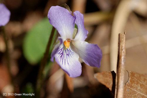 早咲き一番アオイスミレ