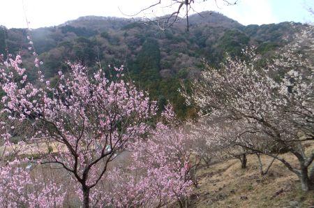 梅の木と城山