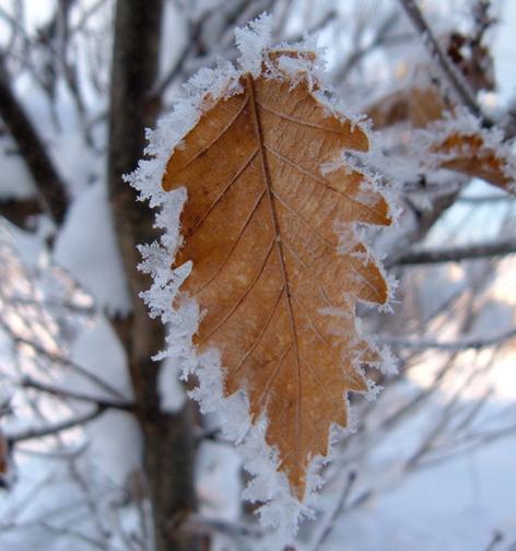 凍りついた葉っぱ