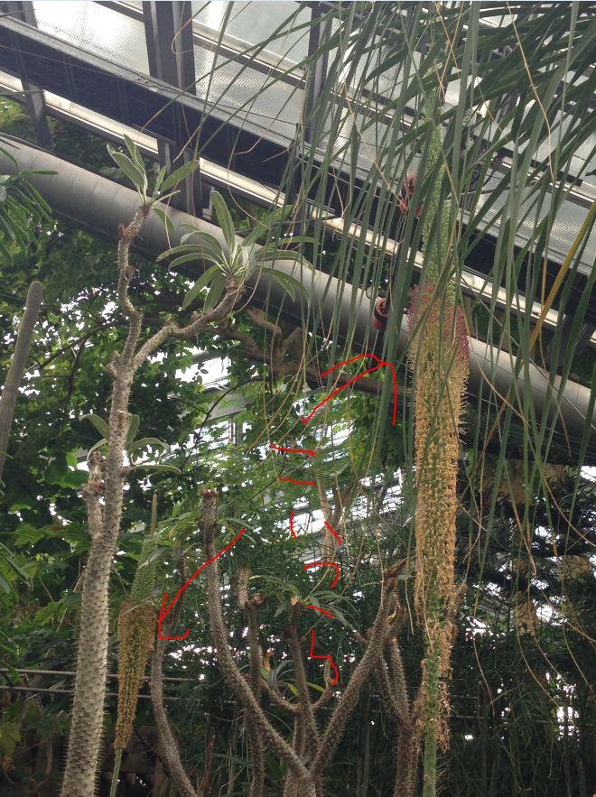 アガウェ ホリダ二つ同時咲き