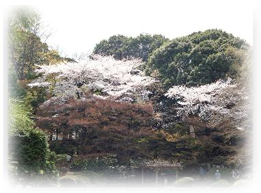 御苑 桜 ②