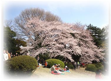 御苑 桜 ①
