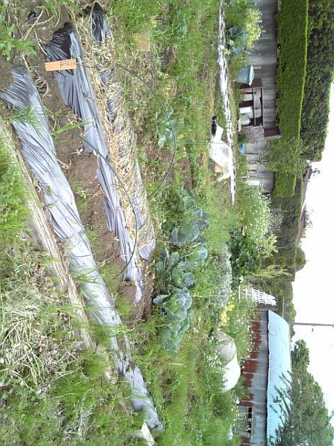 シモヒー畑